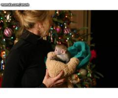 Maimuțe de capucină de calitate pentru adoptare