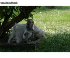 Maimuta minunata Capuchin minunat pentru adopție