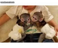 Maimuțe sănătoase bine capucinoase socializate pentru adopție